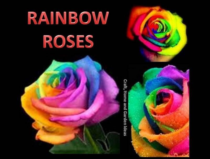 rainbow_roses_10670121_std